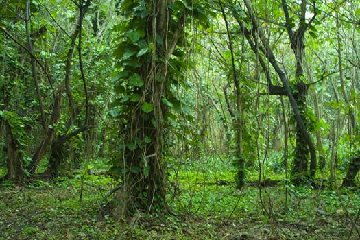 Green jungle at Ke'e