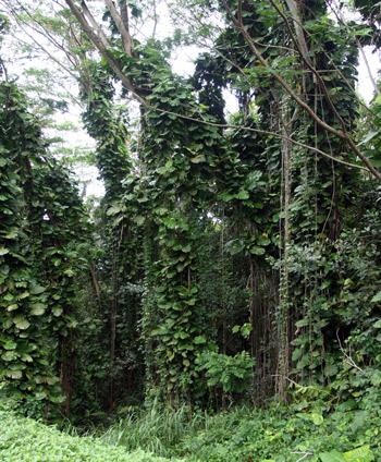 Jungle in Kauai