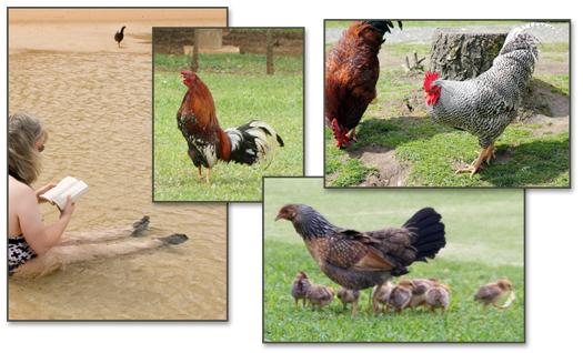 Chickens run amok in Kauai