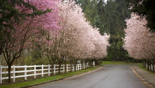 Lane lined with pink trees