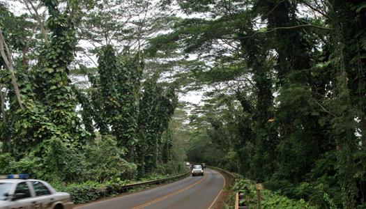 Canopy of trees on Kauai north shore