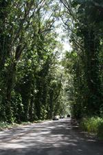 Tree Tunnel near Poipu