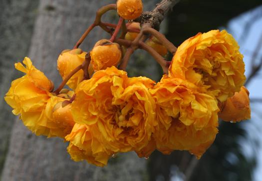 rananuculus tree